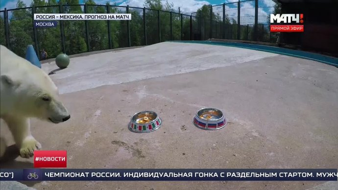 Медведица Ника предсказала итог матча Россия - Мексика (видео)