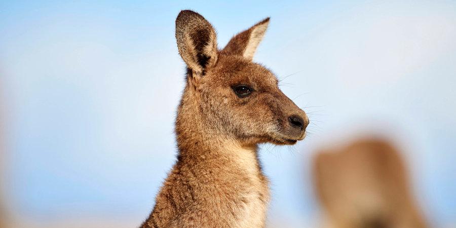 Заезды в Австралии были прерваны из-за кенгуру на трассе (видео)